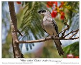 White-bellied Cuckooshrike (Coracina papuensis) by Ian