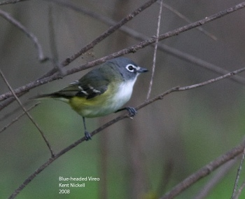Blue-headed Vireo (Vireo solitarius) by Kent Nickell