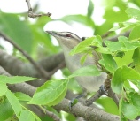 Red-eyed Vireo (Vireo olivaceus) by Kent Nickell