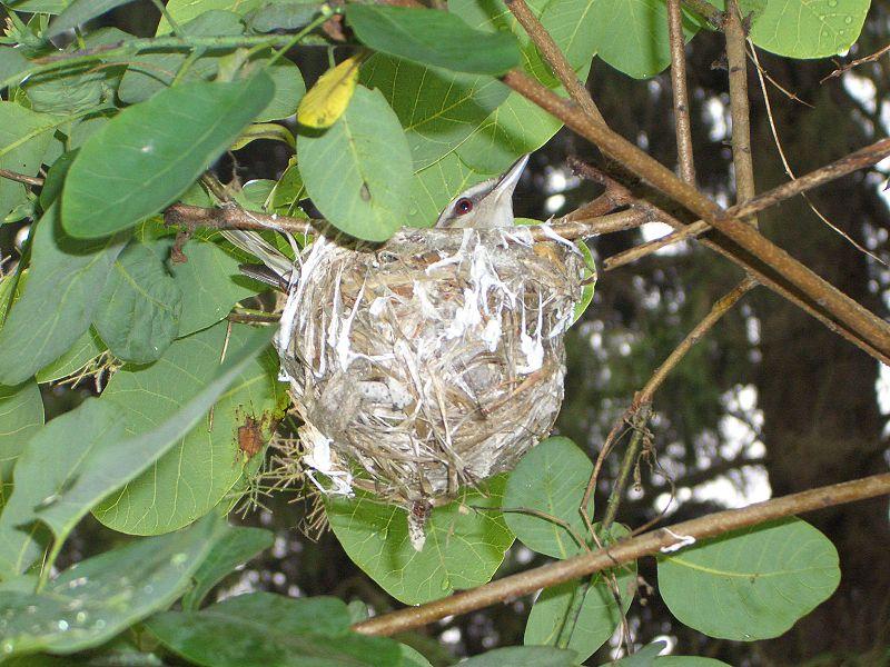 Red eyed vireo nest - photo#5