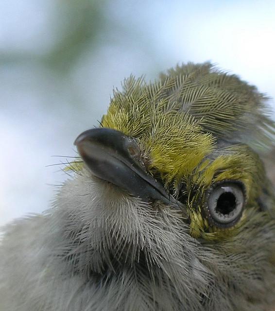 White-eyed Vireo (Vireo griseus) close-up ©©joule_e