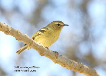 Yellow-winged Vireo (Vireo carmioli) by Kent Nickell