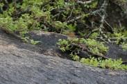 Rock-loving Cisticola (Cisticola emini) ©©algaedoc