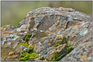 Rock Wren (Salpinctes obsoletus) by Daves BirdingPix