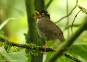 Black-headed Nightingale-Thrush (Catharus mexicanus) by Michael Woodruff