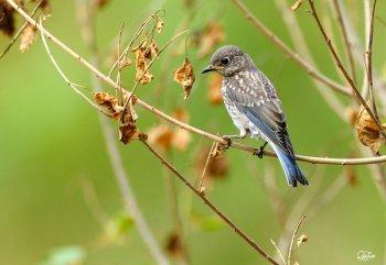 Western Bluebird (Sialia mexicana) juvenile by Quy Tran