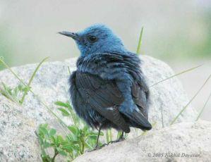 Blue Rock Thrush (Monticola solitarius) by Nikhil Devasar