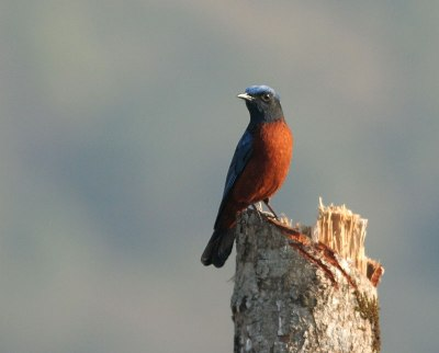 Chestnut-bellied Rock Thrush by Peter Ericsson