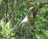 House Sparrow (Passer domesticus) Albino ©©LuSerra
