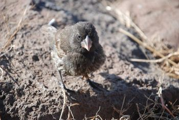 Large Cactus Finch (Geospiza conirostris) ©WikiC