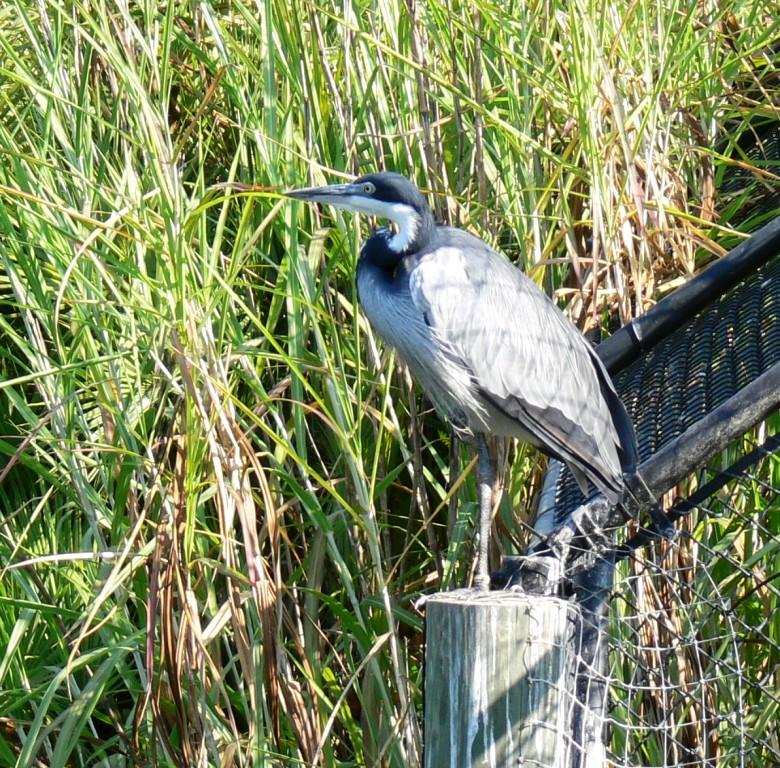 Black-headed Heron (Ardea melanocephala) by Lee Lowry Pk Zoo