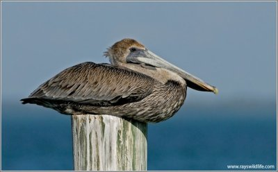 Brown Pelican (Pelecanus occidentalis) by Ray