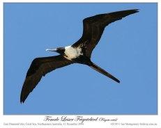 Lesser Frigatebird (Fregata ariel) female by Ian