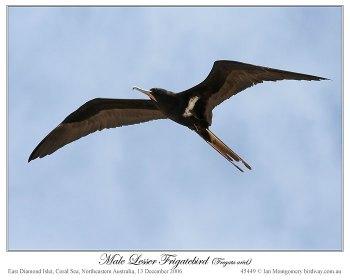 Lesser Frigatebird (Fregata ariel) male by Ian