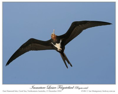 Lesser Frigatebird (Fregata ariel) imm. by Ian