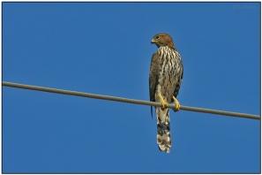 Cooper's Hawk (Accipiter cooperii) by Daves BirdingPix