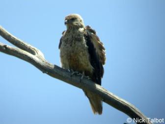 Whistling Kite (Haliastur sphenurus) by Nick Talbot