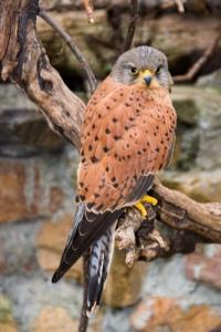 Rock Kestrel (Falco rupicolus) ©©SteveCrane