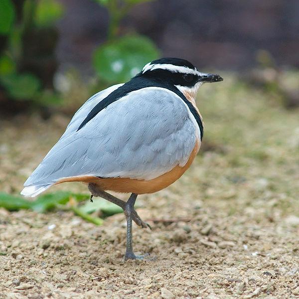 Egyptian Plover (Pluvianus aegyptius)©©