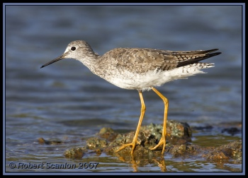 Lesser Yellowlegs (Tringa flavipes) by Robert Scanlon