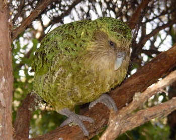 Kakapo (Strigops habroptila) ©Dept of Conservation