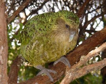 Kakapo (Strigops habroptila) ©Dept of Conservation