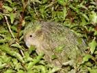 Kakapo (Strigops habroptila) ©WikiC showing camaflage