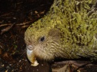Kakapo (Strigops habroptila) ©WikiC showing whiskers around beak