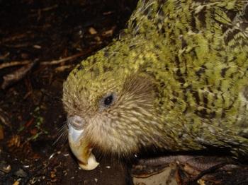 Kakapo (Strigops habroptila) ©WikiC showing whiskers around beak