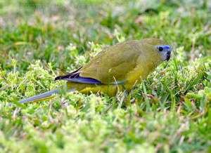 Rock Parrot (Neophema petrophila) by Ian