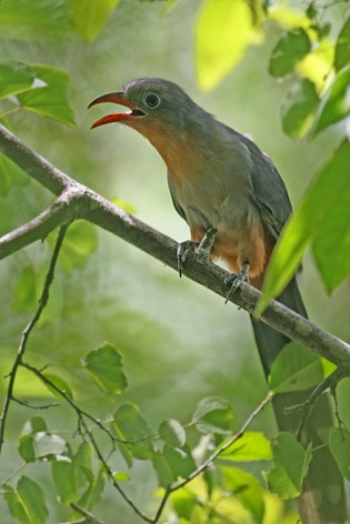 Red-billed Malkoha (Zanclostomus javanicus) by Peter Ericsson