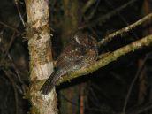 Mountain Owlet-nightjar (Aegotheles albertisi) ©WikiC