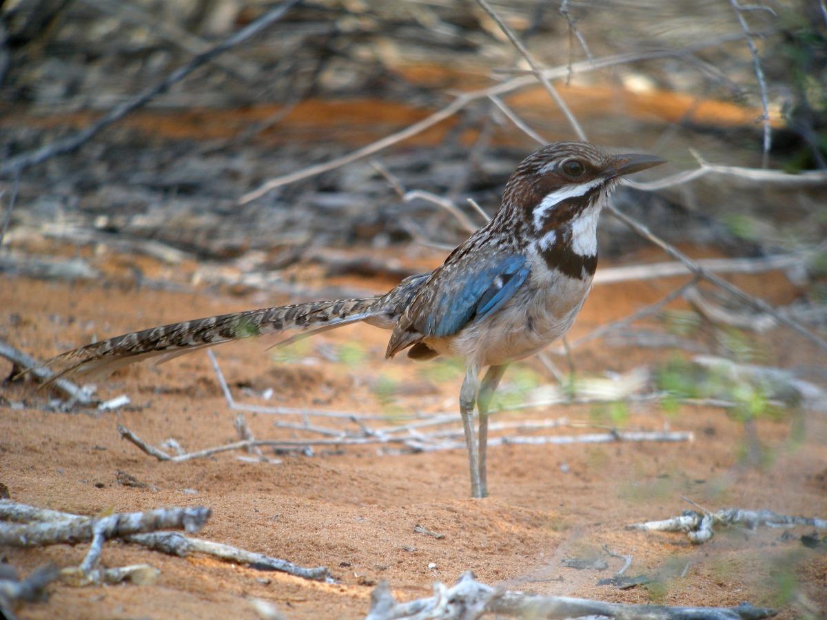 Long-tailed Ground Roller (Uratelornis chimaera) ©WikiC