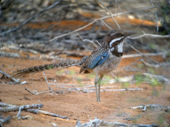 Long-tailed Ground Roller (Uratelornis chimaera) ©WikiC