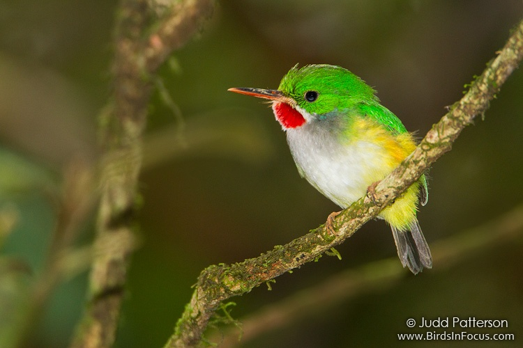 Puerto Rican Tody (Todus mexicanus) by Judd Patterson