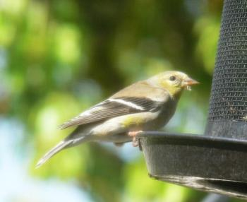 American Goldfinch (Carduelis tristis) by Lee thru window
