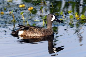 Blue-winged Teal by Dan at Circle B