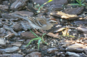 Chipping Sparrow (Spizella passerina) shot thru window with screen by Lee