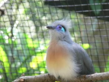 Crested Coua (Coua cristata) by Lee at LPZoo