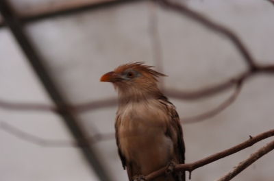 Guira Cuckoo (Guira guira) at NA by Dan at National Aviary