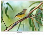 Weebill (Smicrornis brevirostris) by Ian Montgomery