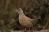Stone Partridge (Ptilopachus petrosus) ©WikiC