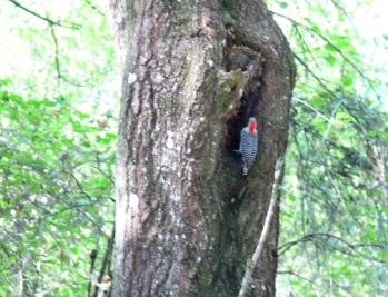 Red-bellied Woodpecker (Melanerpes carolinus) by Lee