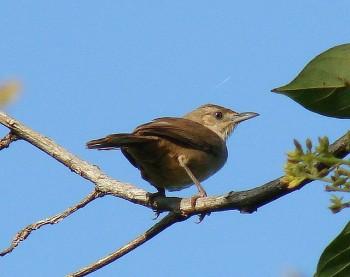 Plain Thornbird (Phacellodomus inornatus) ©©barloventomagico