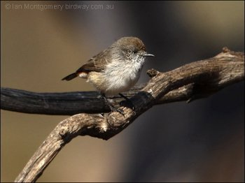 Chestnut-rumped Thornbill (Acanthiza uropygialis) by Ian
