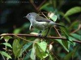 Mountain Thornbill (Acanthiza katherina) by Ian