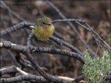 Yellow Thornbill (Acanthiza nana) by Ian