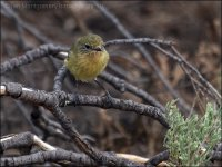 Yellow Thornbill (Acanthiza nana) by Ian