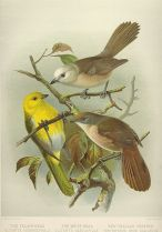 Yellowhead (Mohoua ochrocephala) ©WikiC & Whitehead