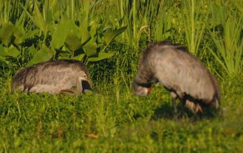 Black-bellied Whistling Duck (Dendrocygna autumnalis) with young